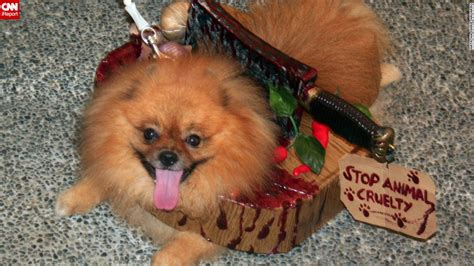 pomeranian costumes howlers dressing up dogs cnn