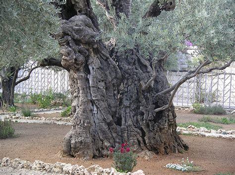 In The Garden Of Gethsemane by Olive Tree Garden Of Gethsemane Flickr Photo