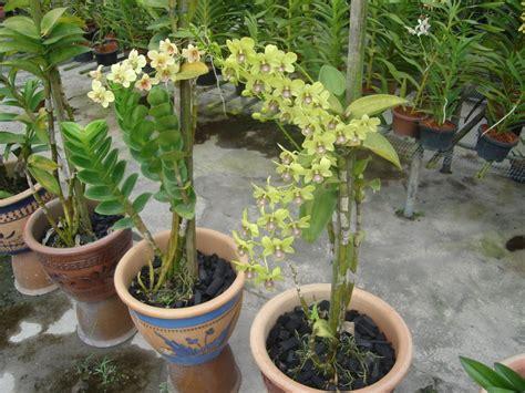 penggemar orkid malaysia menjaga orkid mudah tetapi