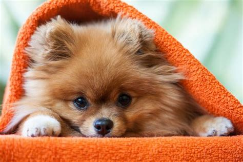 puppy frequently small amounts 30 most lazy breeds for a potato owner