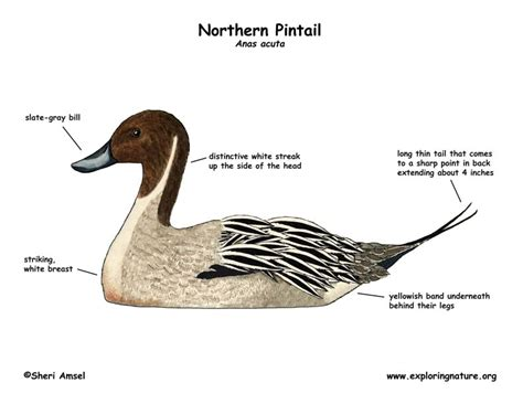 duck diagram duck northern pintail exploring nature educational