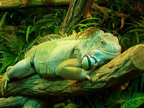 green iguana by tienna on deviantart