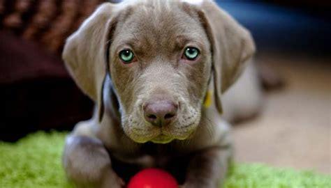 perro travieso 191 qu 233 significa so 241 ar con perritos cachorros desc 250 brelo