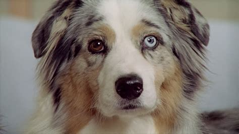 blue film on dogs eyes cu australian shepherd with different colored eyes stock