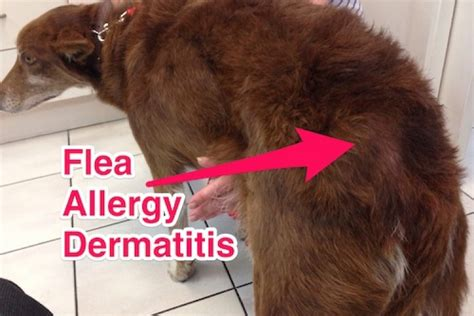 my is always scratching but doesn t fleas you don t need to see fleas to a flea problem companion animal veterinary hospital