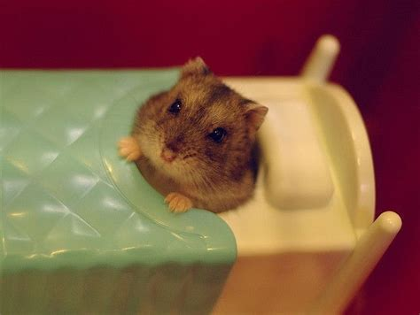 bedding for hamsters 1000 ideas about hamster bedding on pinterest hamster