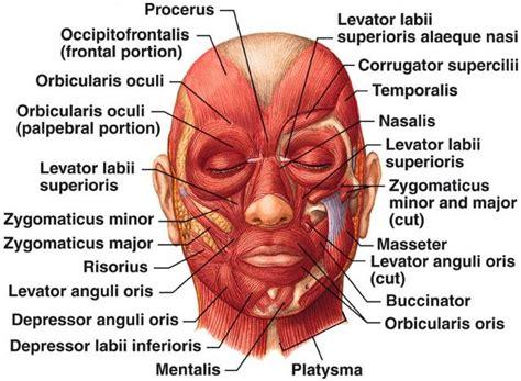 face mapping on pinterest estheticians facial massage facial muscles esthetician education face skin care