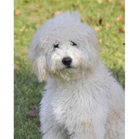 mini doodle virginia goldendoodle breeders in west virginia freedoglistings