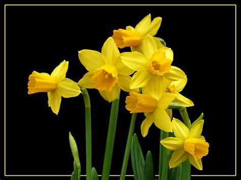narcisi fiori 034 narcisi giunchiglie daffodils foto immagini