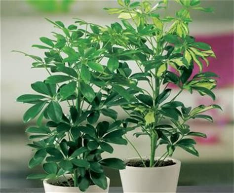 easy to take care of indoor plants a favorite umbrella tree shefflera this larger upright plant has a fan of glossy