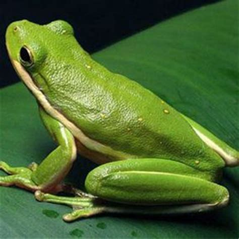 how to get rid of frogs in backyard best 25 tree frogs ideas on pinterest frogs are tree
