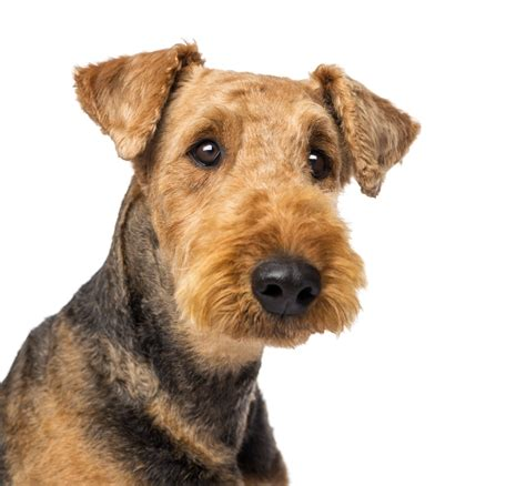 airedale puppies airedale terrier breed gallery