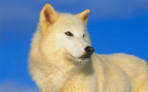 attuning wolves coyotes  coryelle kramer