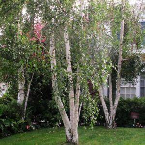 bare root silver birch trees  sale   ireland