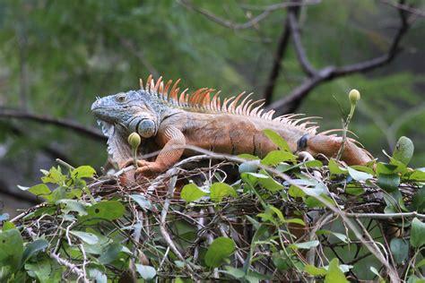 Imagenes De Iguanas Rojas | la iguana verde y sus cuidados fauna ex 243 tica