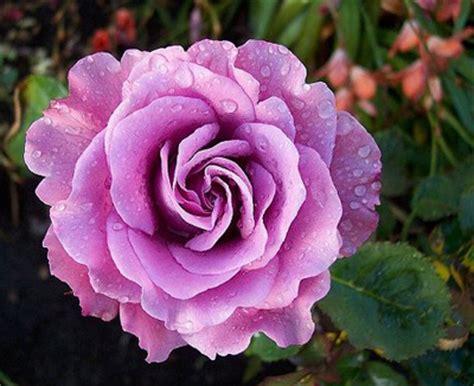 angel face rose   plants garden supplies