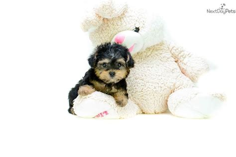 yorkie poo for sale houston 17 best ideas about yorkie poo for sale on yorkie puppies yorkie poo