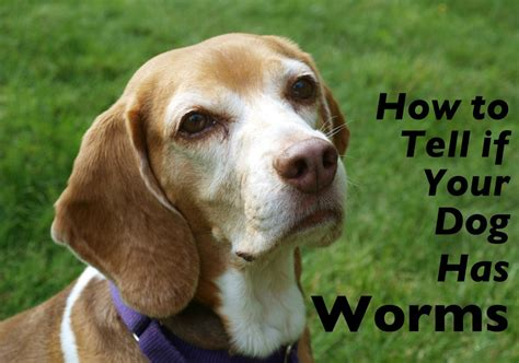how to tell if a puppy has worms how to tell if your has worms