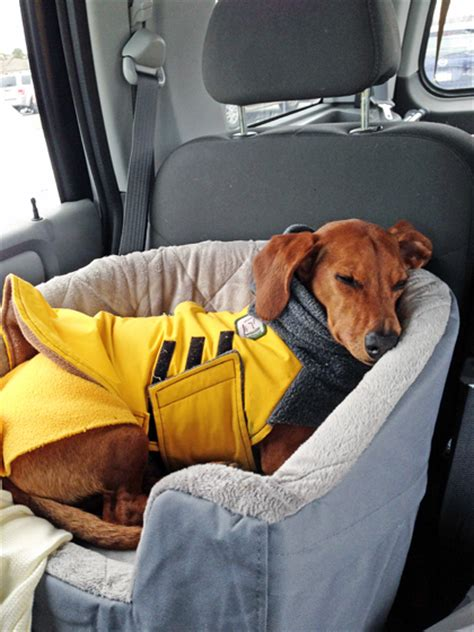 how to go longer in bed a car travel bed to keep your dog safe ammo the dachshund