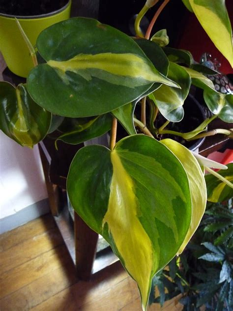 philodendron hederaceum brazil philodendron jardin