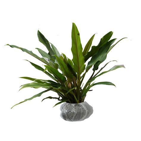 Philodendron Selloum Tanaman Philo tanaman philo keris bibitbunga