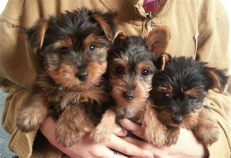 when is a yorkie no longer a puppy yorkie pups hinckley leicestershire pets4homes