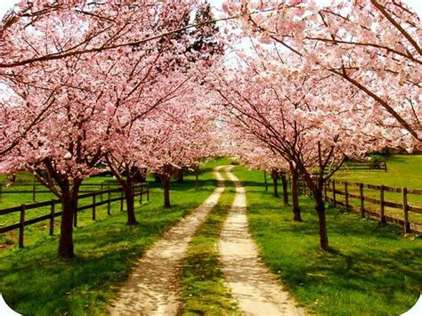 cherry tree family family farm my and i planted these cherry trees our year on the farm big big