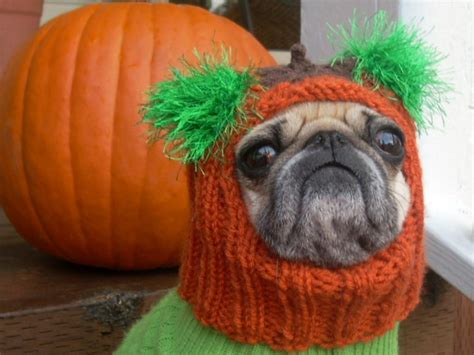 pumpkin pug pumpkin pug fall into fall