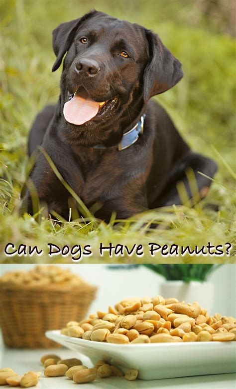 is peanut butter ok for dogs can dogs eat peanuts and peanut butter