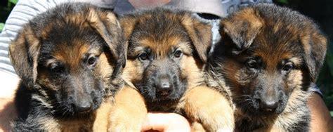 alimentazione cucciolo pastore tedesco 2 mesi cuccioli pastore tedesco roma casa