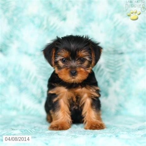 yorkie puppies lancaster pa pin by lancaster puppies on yorkie puppies