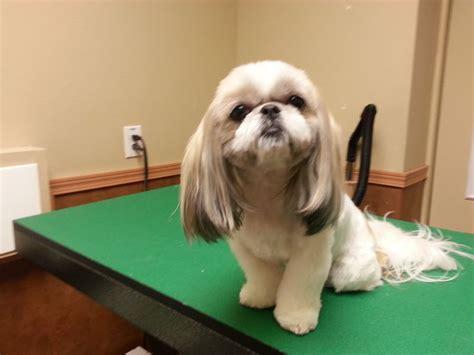 shih tzu haircut pictures shih tzu haircut pet trim shih tzu groom pets animals