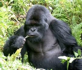 gorilla trekking with the gorillas