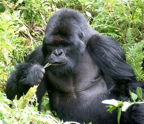 gorilla experience