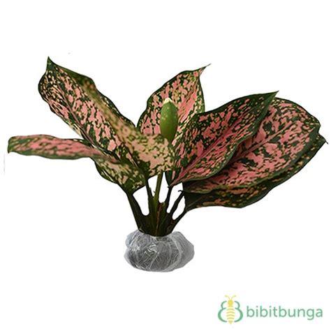 Tanaman Aglaonema Heng Heng Aglonema Hengheng tanaman aglaonema pink dalmation bibitbunga