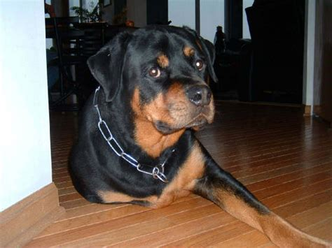 baby rottweiler pictures the cutest baby rottweilers breeds picture