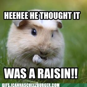 Shaved Guinea Pig Meme - uncategorized today s pet pics page 10