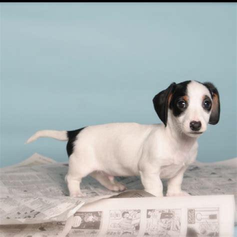 piebald dachshund puppies miniature piebald dachshund bow wow