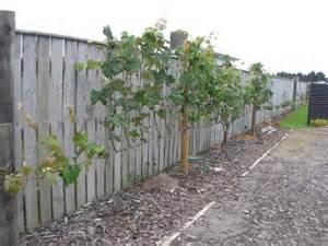 Backyard Grape Vine Trellis Niel And Suzana S Grape Vines Free Grape Growing Tips