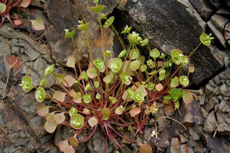 ediblr raw roots miner s lettuce montia perfoliata in columbia