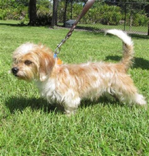 dachshund shih tzu mix learn more about the shih tzu dachshund mix aka the schweenie