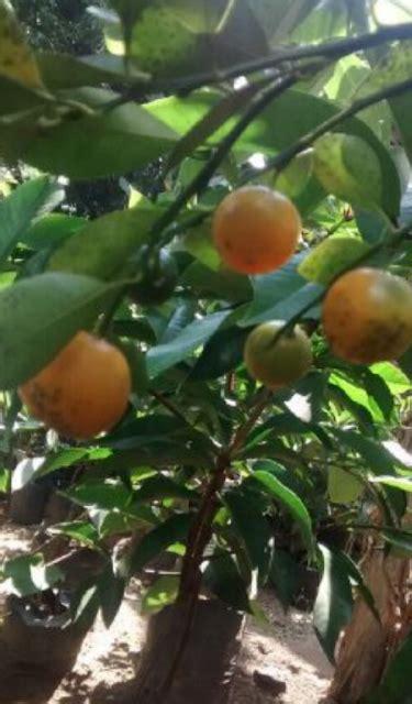 Jual Bibit Rambutan Tanpa Biji dhelta jual bibit buah jeruk kip orange dn menyediakan