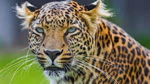 Difference Between Leopard And Cheetah And Jaguar What Is The Difference Between A Cheetah And A Leopard