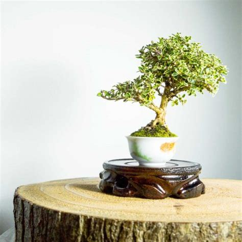 Bonsai Serisa 10759 Limited bonsai tree shohin juniper squamata