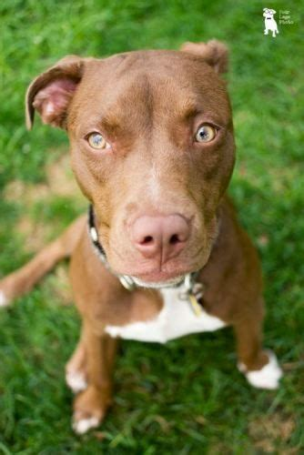colby pitbull puppies colby pictures news information from the web