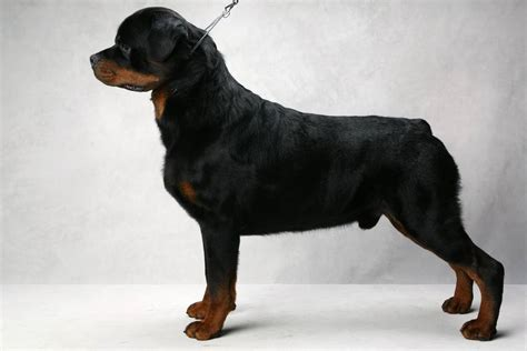 what were rottweilers bred for gallery the top 10 popular breeds for 2014 the sacramento bee