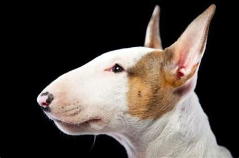 bullseye breed bull terriers