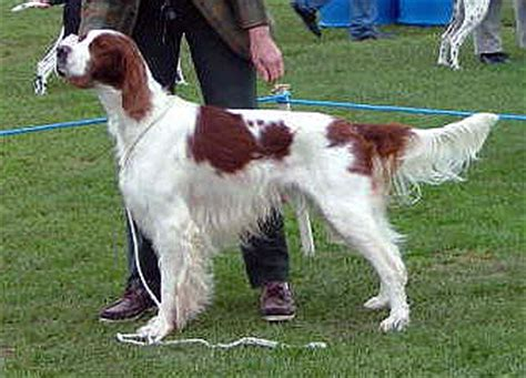 english setter dog wiki irish red and white setter wikipedia