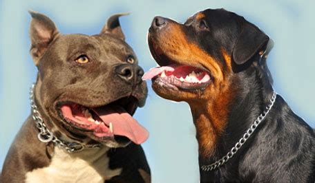 rottweiler aggressive breed rottweilers attack www pixshark images galleries with a bite
