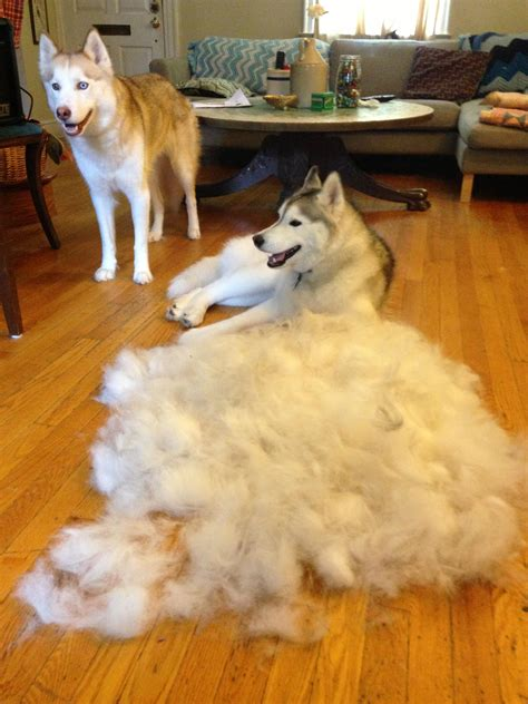 Dogs That Shed The Most by Here Are Practical And Somewhat Repulsive Ways To